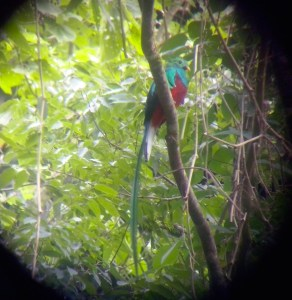 Quetzal on the Waterfall Trail, August 2014. Photo courtesy of John from Boquete Custom Tours!