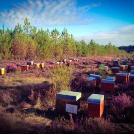 miel bio de callune des Landes