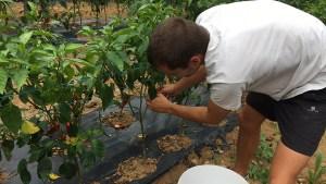 Récolte du piment D'Espelette