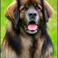 Leonberger history suggests that they should not be a genetically diverse breed. Although they were formed as a hodgepodge of large continental dogs a little over a century ago, two […]