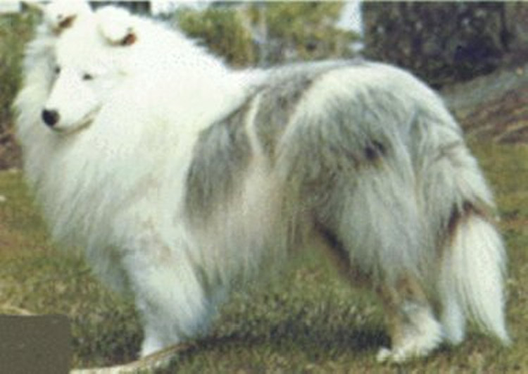 Westminster's Double Merle Sheltie BOB