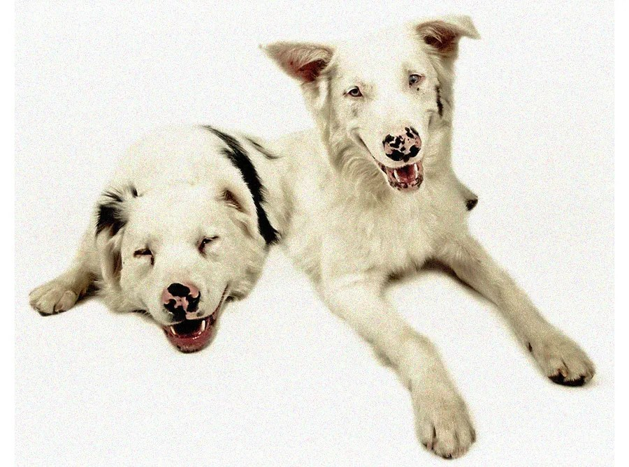 Odds of a Double Merle Puppy