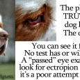 "The recent Crufts dust-up is a perfect example of the Health Testing charade that I discussed previously in my Limits of ""Health"" Testing post.  There has been so much misinformation and deception […]"