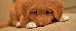 Shoddy science makes this Toller puppy sad.