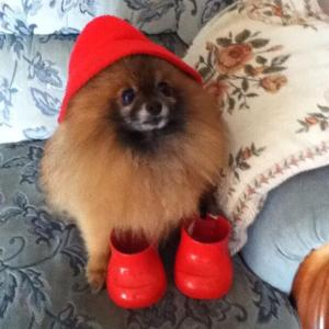 Elvis, who had lost most of his teeth to a common condition in Pomeranians, was no threat to anyone.