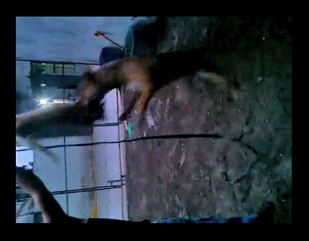 Pit Bull baiting with cat. Violent, the cat is already dead.