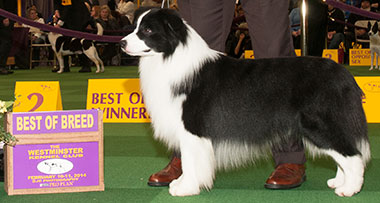 GCH_Tang_Dynasty_Rocky_border_collie_BIS_Westminster
