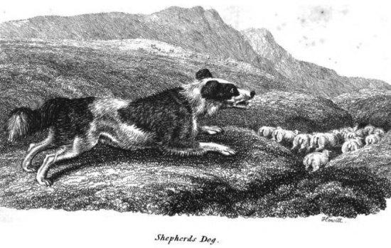 shepherds-dog-1809-howitt