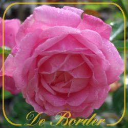 chinese rozen
