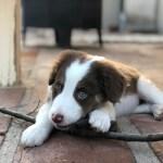 Puppies Gallery Border Collie Fan Club