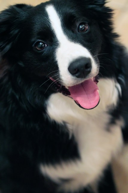 5-ways-to-stop-your-border-collie-from-nipping-1