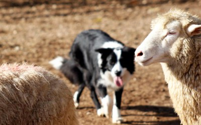 We need input from herding exhibitors