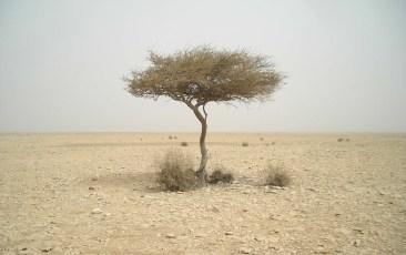 Qatar_Tree.jpg