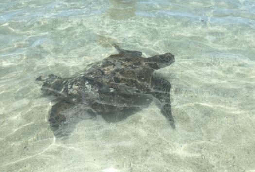 Secret Lagoon in Ko Olina, Hawaii Turtle