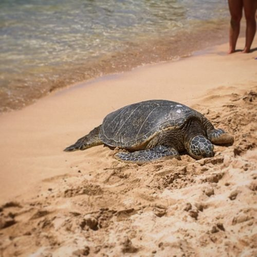 Hang Out with Turtles at Laniakea Beach