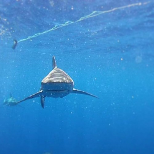 Swimming with Sharks On Oahu
