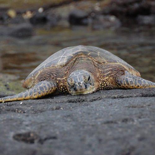 Turtles on Oahu Landd