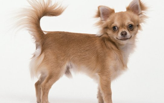 Chihuahua long coat