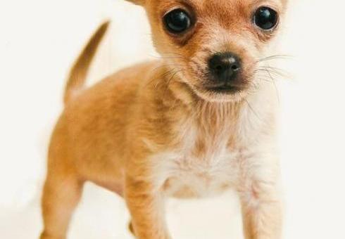 Chihuahua puppie