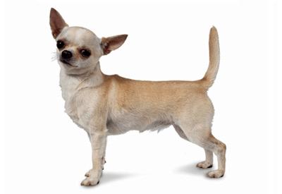 Chihuahua smooth coat