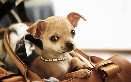 chihuahua in bag