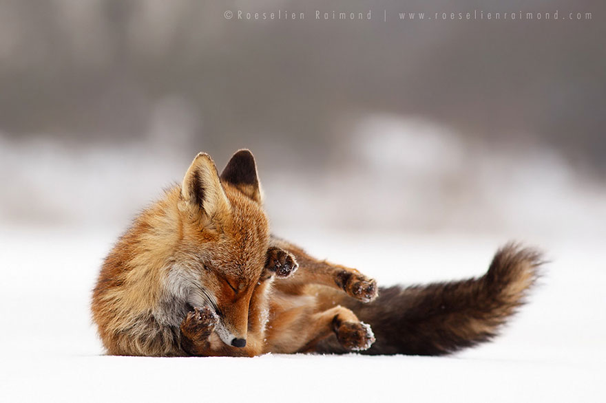 foxes-roeselien-raimond-24