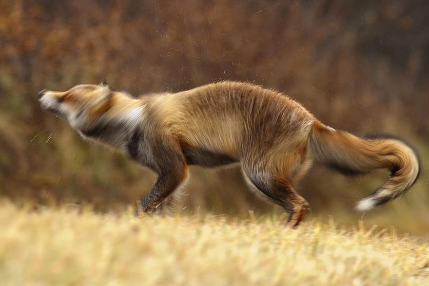 foxes-roeselien-raimond-3-2