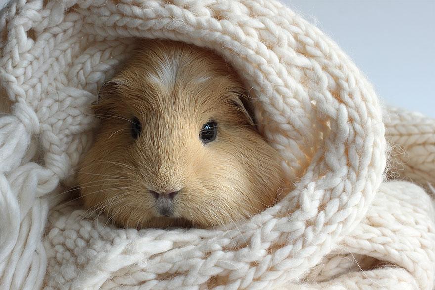 guinea-pig-booboo-lieveheersbeestje-11