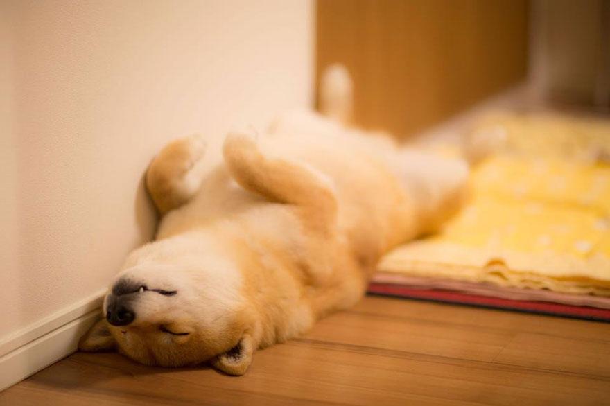 happy-dog-maru-shiba-inu-32