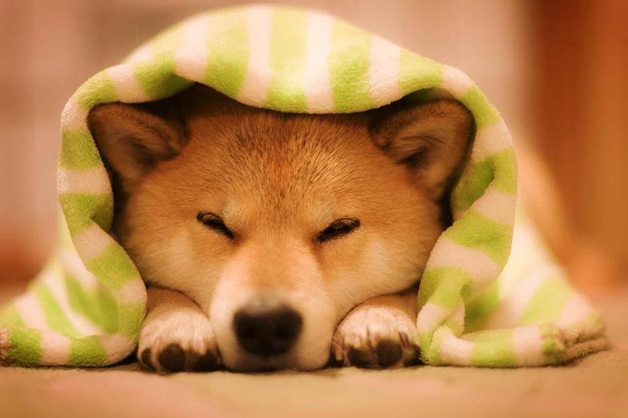 happy-dog-maru-shiba-inu-34