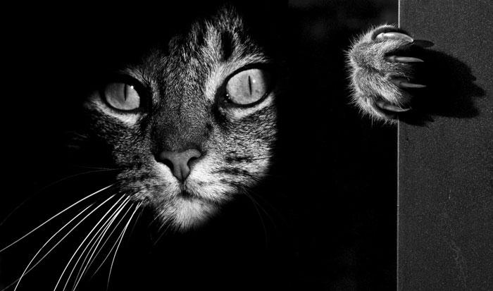 A vida misteriosa de gatos capturados em Preto e Branco Fotografia