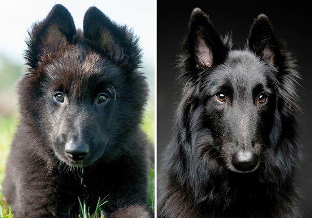 antes-despues-perros-creciendo (4)