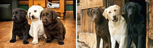 antes-despues-perros-creciendo (8)
