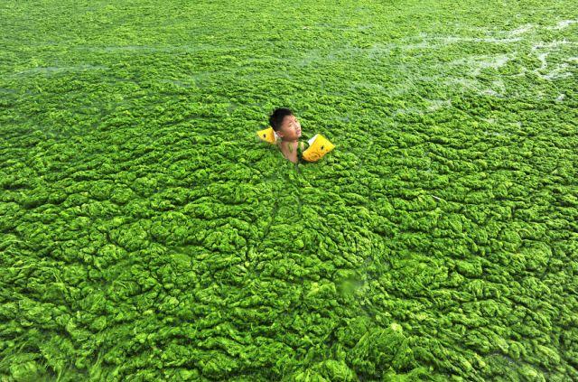 A boy swims in the algae-filled coastline of Qingdao