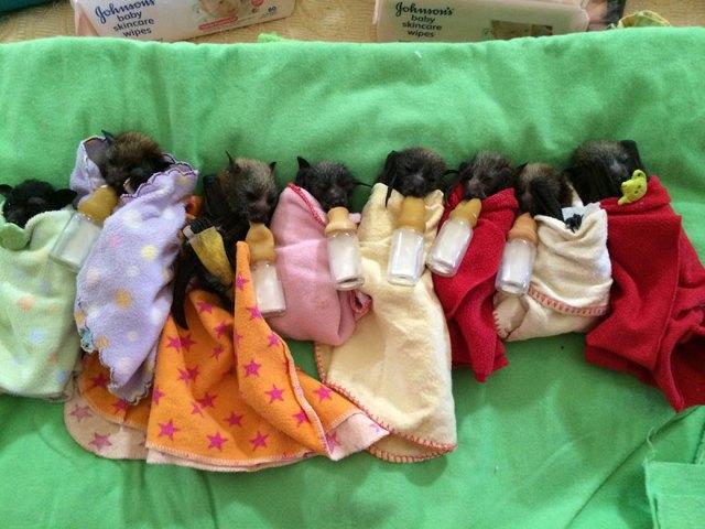 crias-adorables-hospital-de-murcielagos-australia (7)