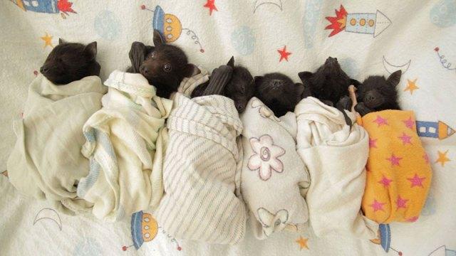 crias-adorables-hospital-de-murcielagos-australia (8)