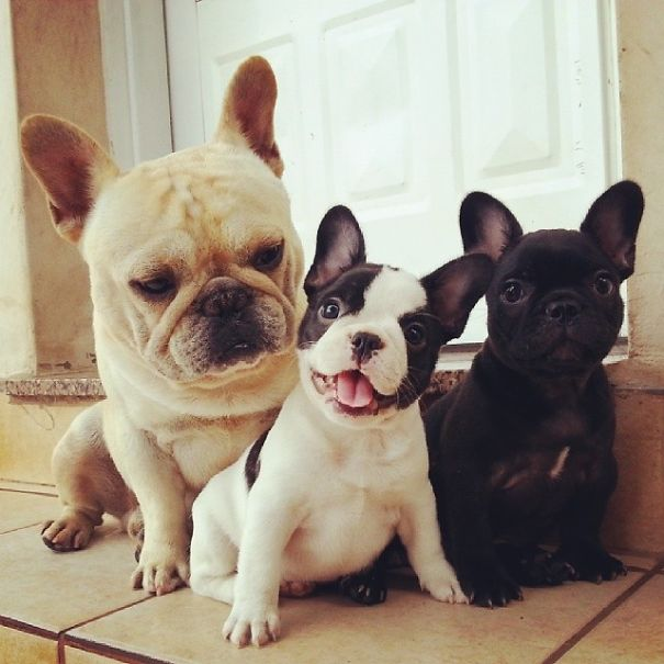fotos-cachorros-bulldog (11)