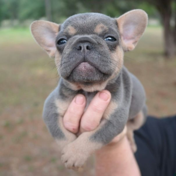 fotos-cachorros-bulldog (13)