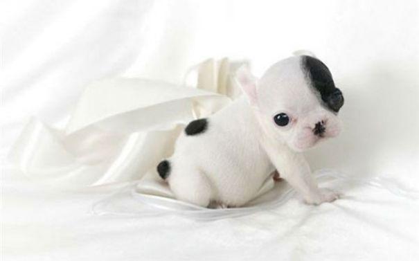fotos-cachorros-bulldog (7)