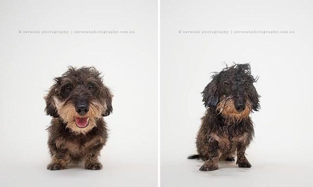 retratos-animales-perro-seco-perro-mojado-serenah-hodson (1)