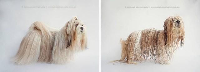 retratos-animales-perro-seco-perro-mojado-serenah-hodson (5)