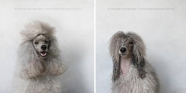 retratos-animales-perro-seco-perro-mojado-serenah-hodson (7)