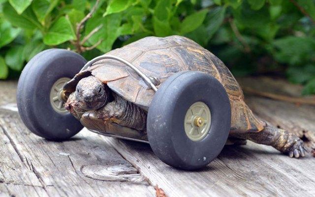tortuga-90-anos-patas-devoradas-ruedas-gales (3)