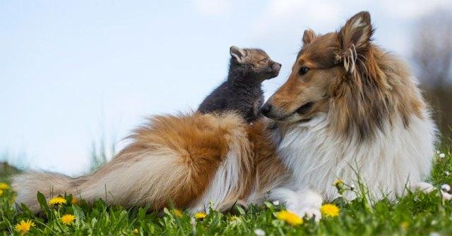cria-zorro-huerfano-dinozzo-adoptado-perro-ziva (12)