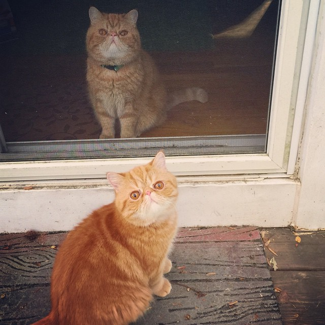 gatos-hermanos-persas-pelo-corto-angus-seamus-besos (2)