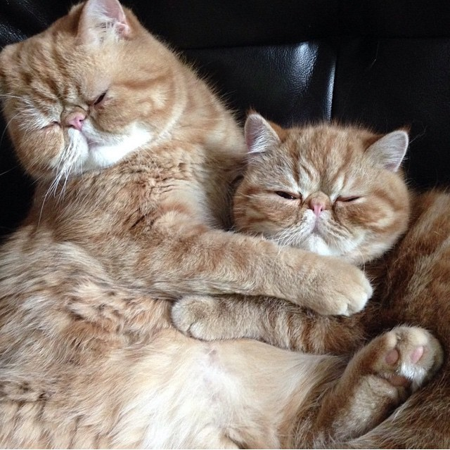 gatos-hermanos-persas-pelo-corto-angus-seamus-besos (9)