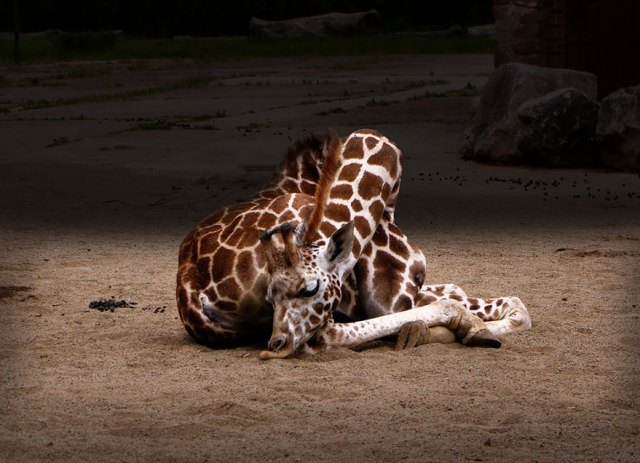 jirafas-durmiendo (7)