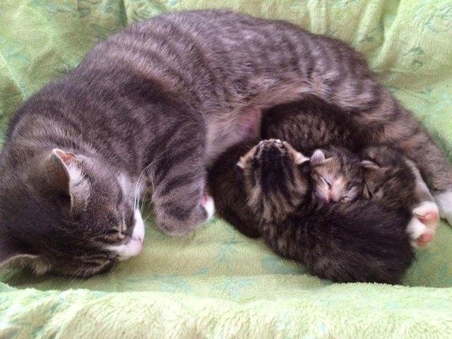 madre-gata-adopta-3-gatitos-huerfanos-mikey-texas (1)