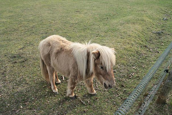 mini-caballos (2)