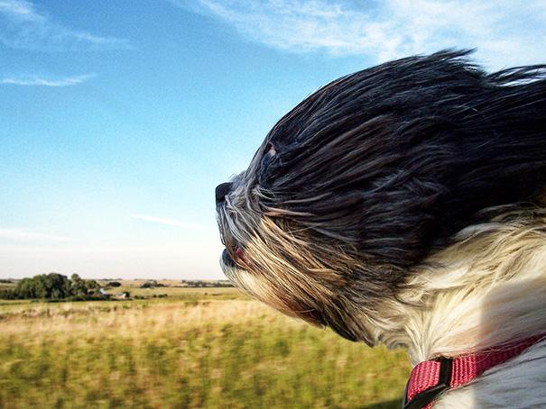 perros-disfrutando-viaje-coche (12)